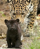 A mother leopard walking along with her melanistic cub