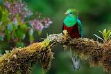 A juvenile Quetzal in Mexico