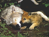 Wolf-sleeping-with-baby
