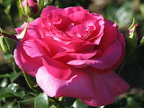 rose 'Manou Meilland'