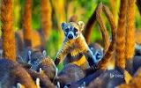 Cozumel Island coatis. Cozumel Island. Mexico