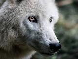 Wolf-675