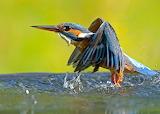 KingfisherSplash