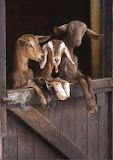 Goats at the door