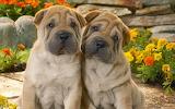 Two cute Shar-Pei