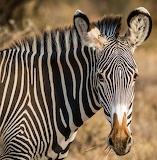 Horses - Zebra