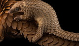 Animals - Young Pangolin - Hitching a ride