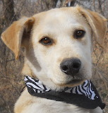 Yellow Lab Mix