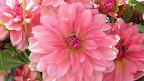 Dahlia petals pink