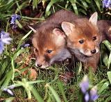 Fox cubs among the bluebells