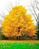 A YELLOW TREE