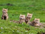 Tibetan Fox cubs