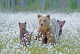 Bear with cubs in a flowery meadow