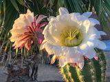 Coahcella Cactus Flower
