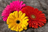 Colored gerberas