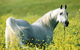Caballo blanco entre flores amarillas