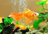 #Beauty of Goldfish