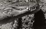 Jason Savage Photography 'Croc or Gator'