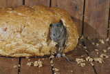 -house-mouse-