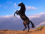 Beautiful Black Horse Prancing...