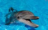 Dofí - Dolphin