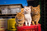 Three Ginger cats