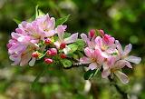 Crapapple Blossom