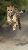 big cat in run