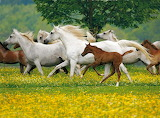 Archiv-Boiselle-Galloping-Arabian-Horses