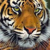 November Tiger by Jurek Zamoyski