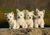 White Terrier Puppies...