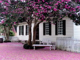 ^ Crepe Myrtle after Sunday's storm, Williamsburg, Virginia