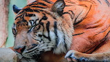 Wildlife- Sleeping tiger