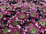 beautiful chrysanthemum