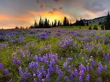 Bucovina,Romania lavender flowers