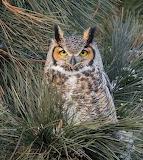 Birds - Great Horned Owl - Nebraska