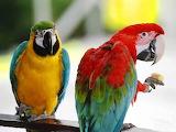 Australian Parrots...