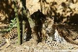Léopards / léopards