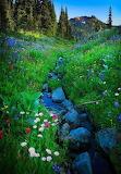 Wildflowers in Mt. Ranier, WA