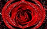 Red Rose - Rosa Vermella