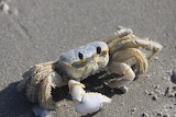 Ghost-crab-obx