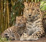 Leopard-dikaia-koshka-detionysh-kotionok-portret