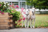 Two-whippets