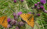 More Butterflies Loving More Ironweed