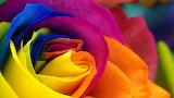 Rose###1285