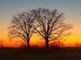 Trees- Elder Trees - Wisconsin