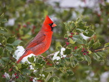 American Holly and Cardinal