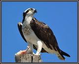 Osprey Dining