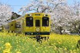 Japan, train, transport, flowering, spring, yellow, color