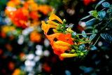 El Salvador Flowers